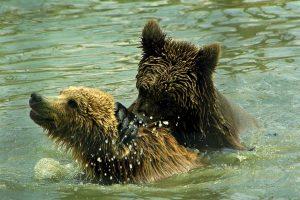 Bear Sanctuary, Zarnesti, Romania (1)